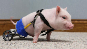 Life Got You Down? Watch This Adorable Piglet!