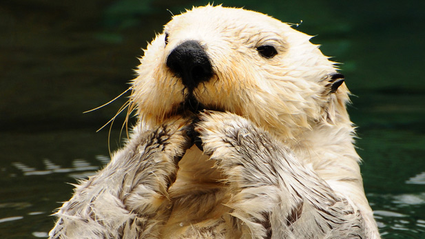 Adorable Sea Otter Is Also Crackerjack Hoops Star