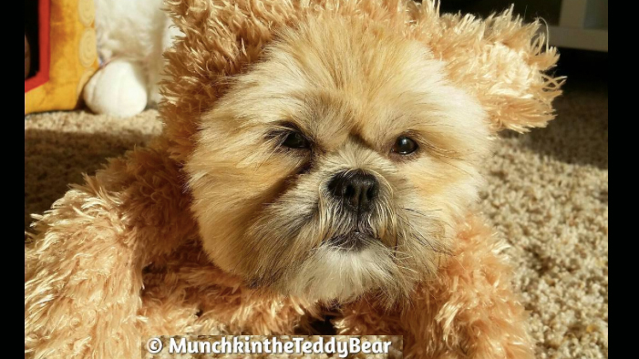 Munchkin the Dog Dressed Up As an Ewok & WE SERIOUSLY CAN'T EVEN.