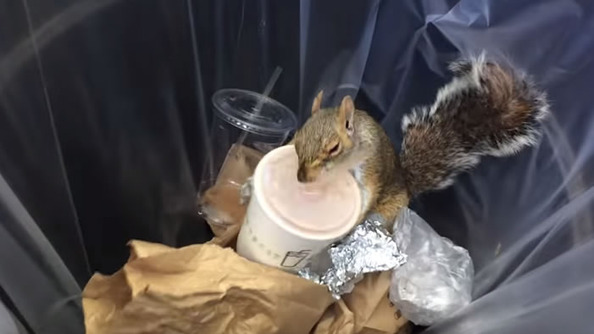 Milkshake Squirrel Is the New Pizza Rat