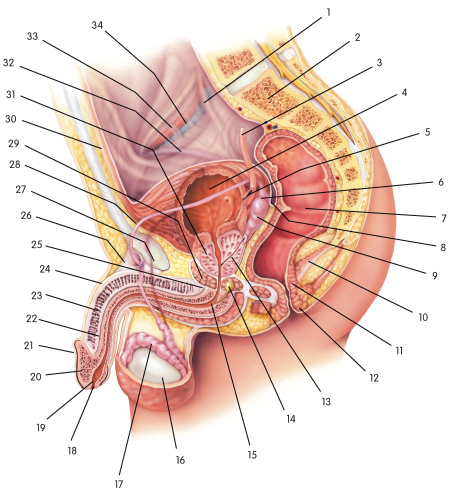 Male canine reproductive anatomy