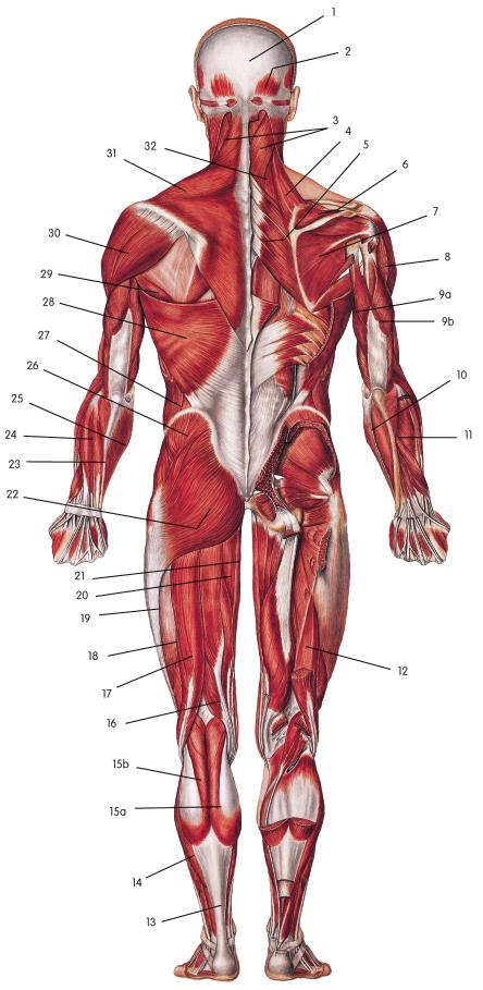 Blank Back Muscle Diagram