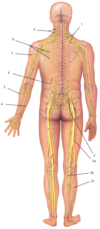 Nerves in the Body