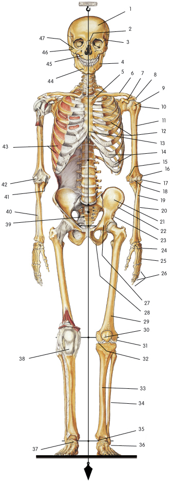 humerus bone anatomy. The Skeletal System