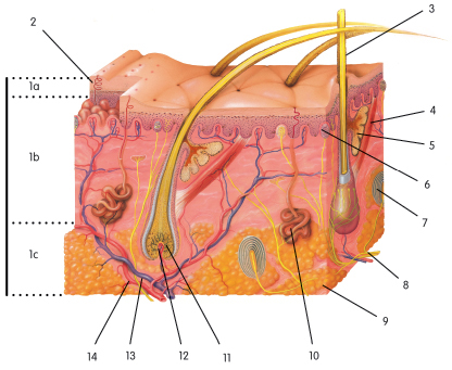Integumentary skin practice quiz proprofs quiz in the figure below which structure is a hair follicle ccuart Choice Image