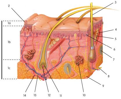 Integumentary (Skin) Practice Quiz - ProProfs Quiz