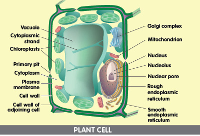 Pictures+of+plants+cells