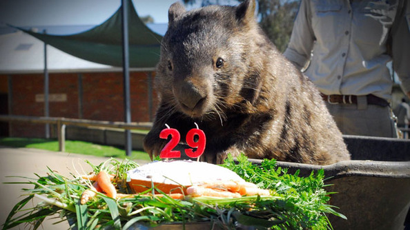 Patrick the Wombat Is 29, Not Fat but Big-Boned