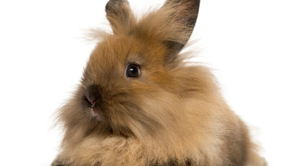 Angora Show Rabbits Are the Best Thing You Will Encounter This Week
